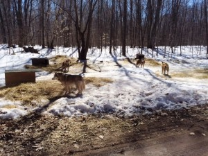 The sled dogs!