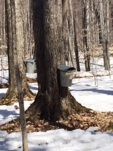 The property had many trees that looked like this! The sap wasn't running a lot because it was cold but it was fun to peek in and see how full they were!
